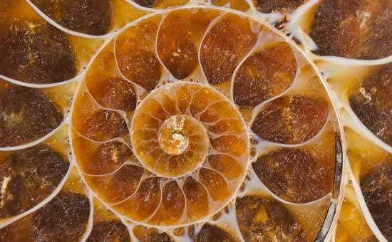 Amonite Spiral