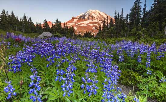 Spring Flowers at Mt Rainier