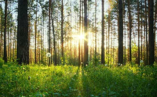 Sunrise through Forest